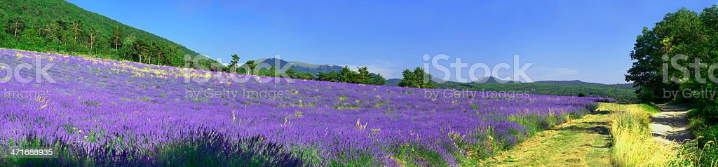 Provencal lavender in summer, France royalty-free stock photo