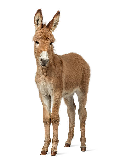 Provence donkey foal isolated on white Young Provence donkey looking at the camera, foal isolated on white foal young animal stock pictures, royalty-free photos & images