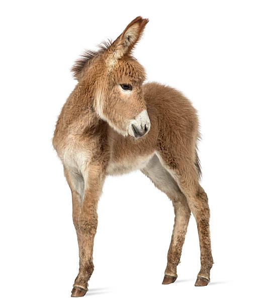 Provence donkey foal looking back isolated on white Side view of a young Provence donkey looking back isolated on white foal young animal stock pictures, royalty-free photos & images