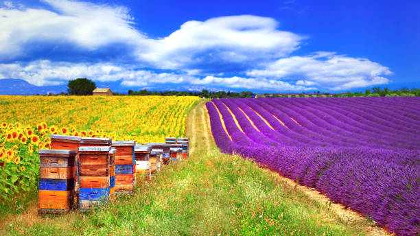 Provence, France - blooming feelds of lavader and sunflowers with beehive stock photo