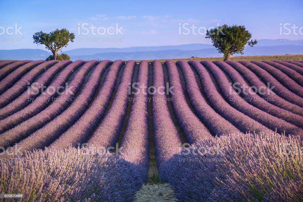 Provence, France. Lavander field zbiór zdjęć royalty-free