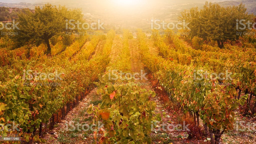 Provence, France, October 12, 2016. Golden light shining on rows of grape vines in a French vineyard in the autumn harvest season. stock photo