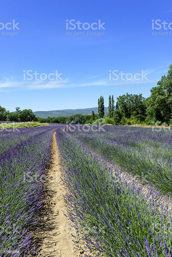 Provence - Lavender royalty-free stock photo