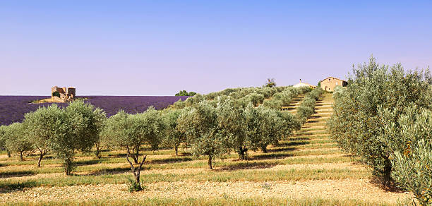 Provence: olive trees and lavender field France, landscape of Provence: olive trees and lavender field provence alpes cote d'azur stock pictures, royalty-free photos & images