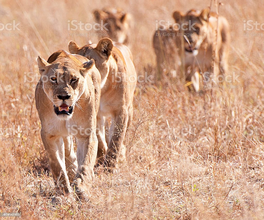Prowl time for the lion pride, Botswana, Africa stock photo