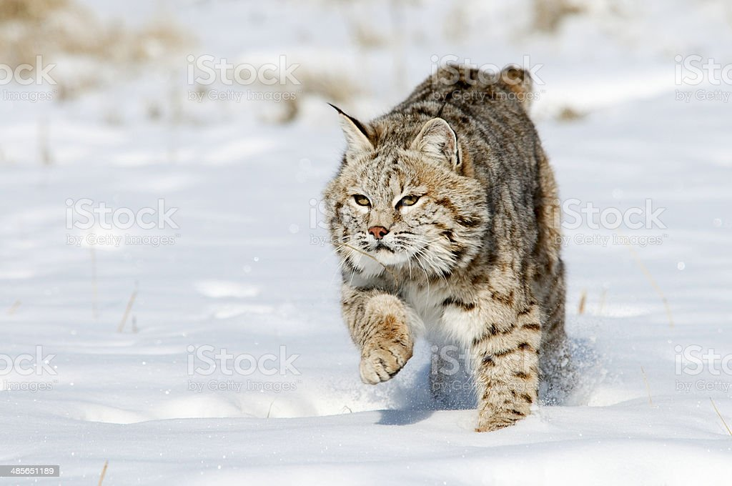Prowling Bobcat stock photo