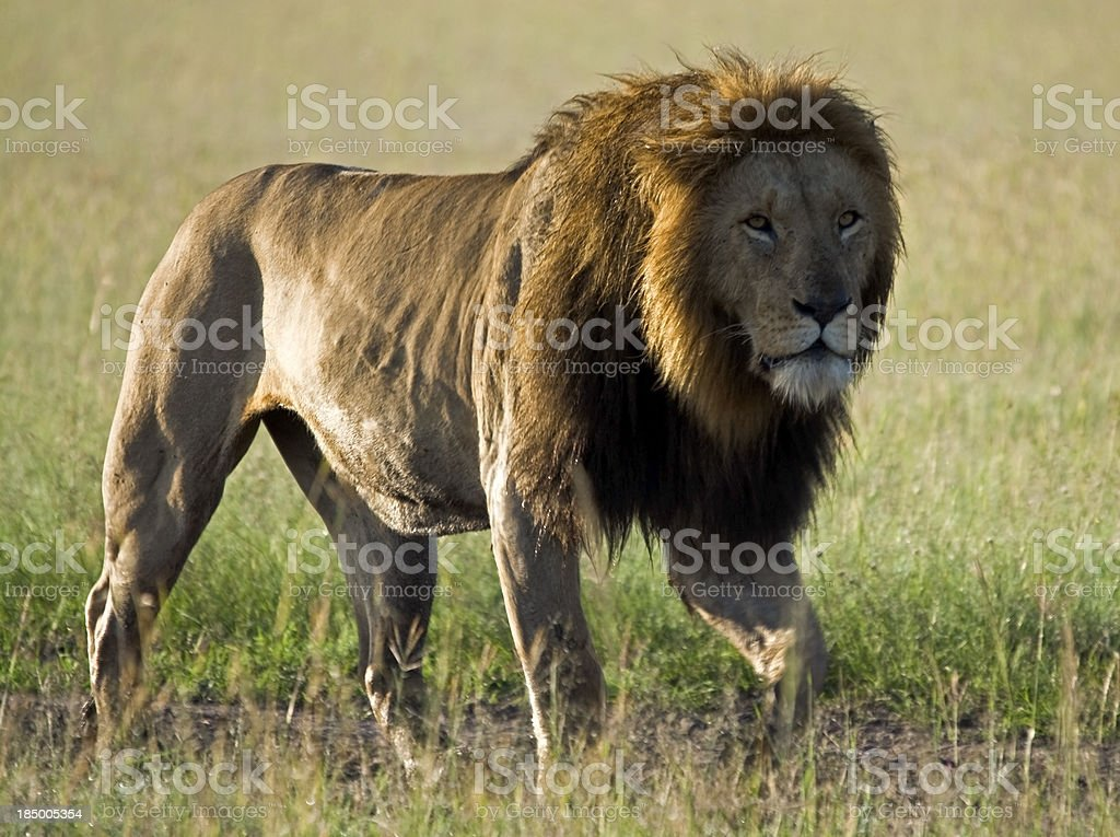 Prowling Lion royalty-free stock photo