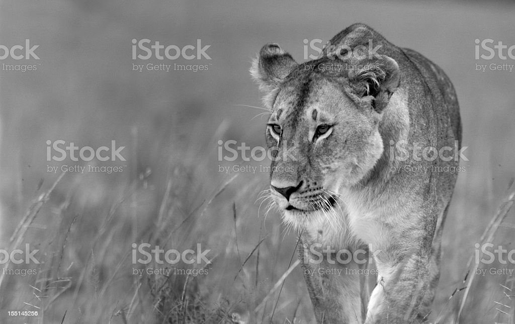 Prowling Lioness stock photo