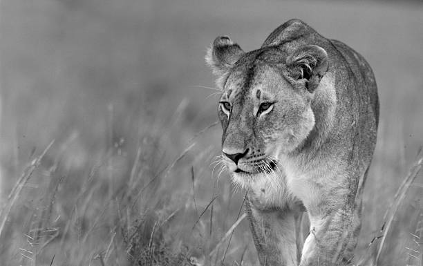 prowling lioness - lioness stock photos and pictures