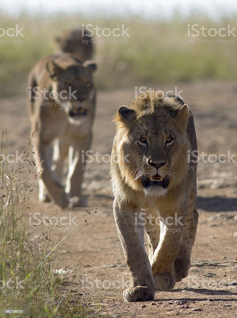 Prowling lions stock photo