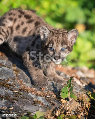 Mountain lion cub on rocks in forest