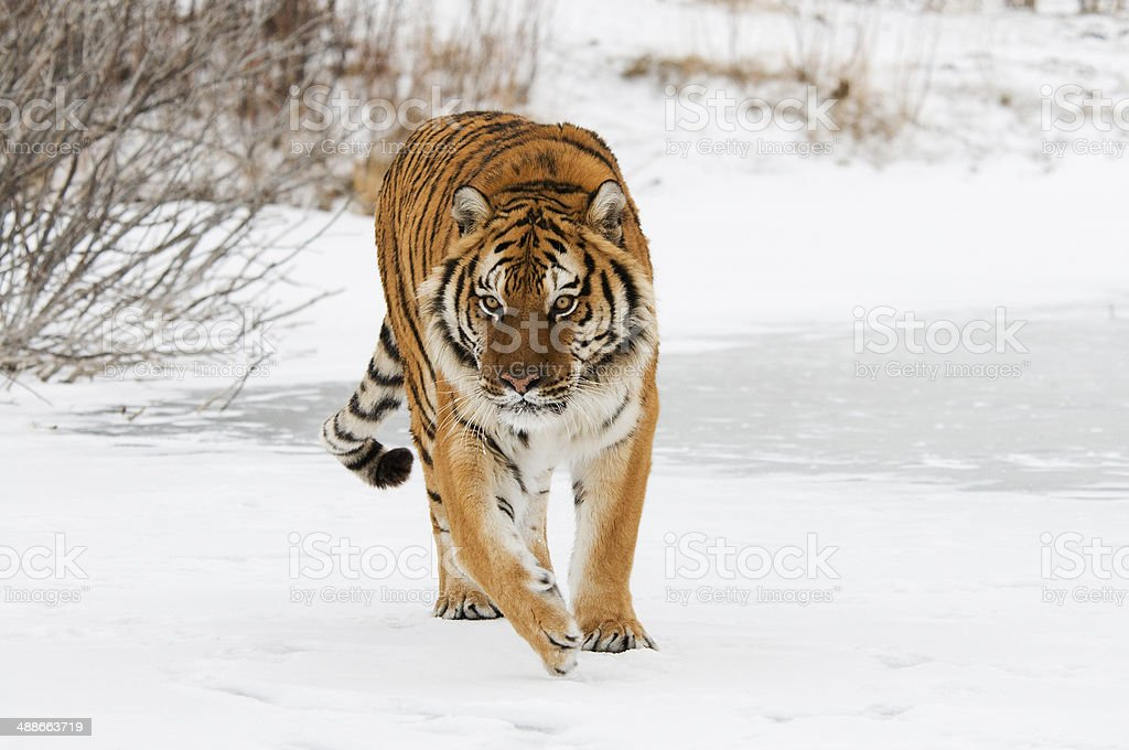 Prowling Tiger stock photo