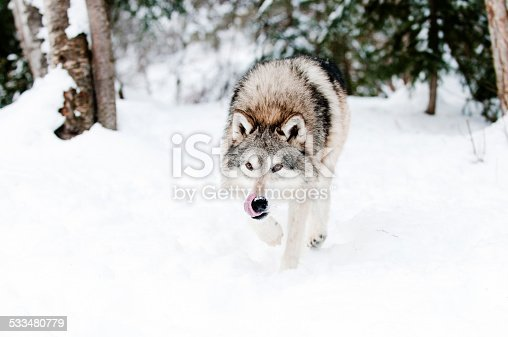 Wolf prowling in fresh snow