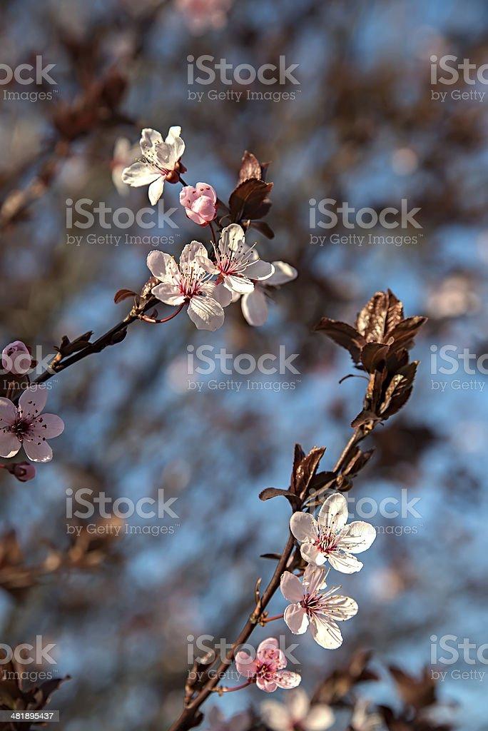 Prumus cerasifera pisardii stock photo