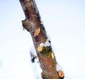 pruned apple brancjes under the snow, image of a