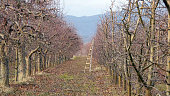 pruned apple orchard in winter image