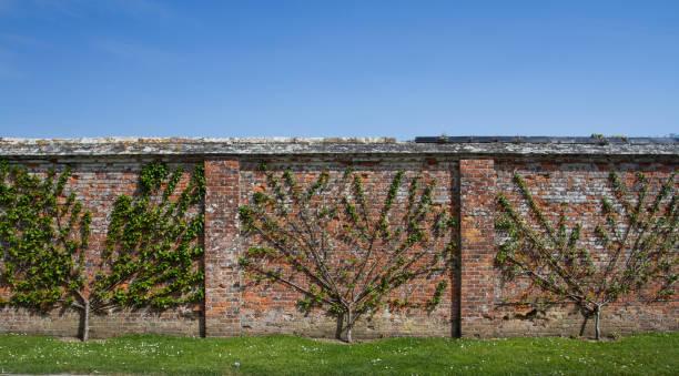 beschnittene spalier obstbäume - pflaumen wände stock-fotos und bilder