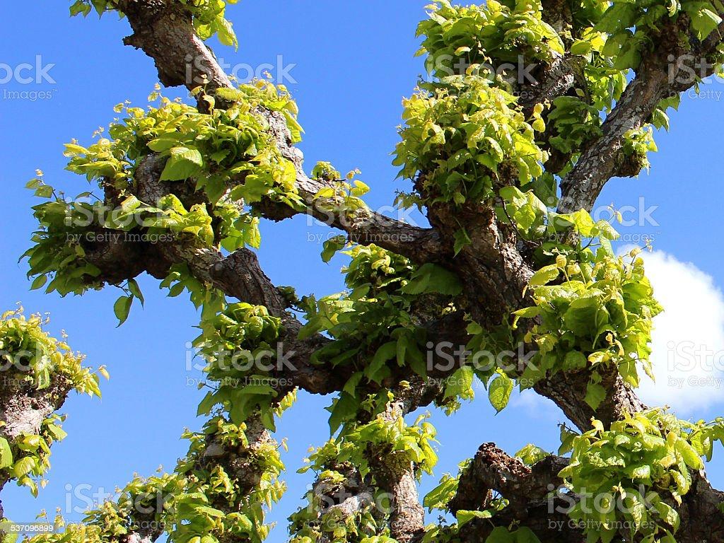 pruned pollarded lime tree tilia europaea with fresh spring foliage royalty free