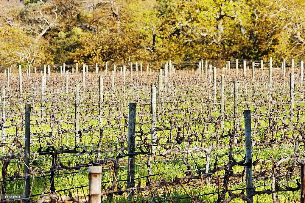 Pruned vineyard stock photo