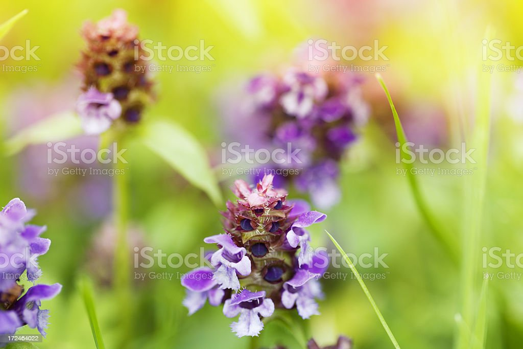 prunella plant for herbal medicine royalty-free stock photo