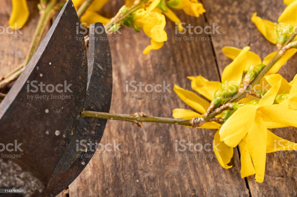 Pruner for cutting bushes and forsythia branches on a wooden table....