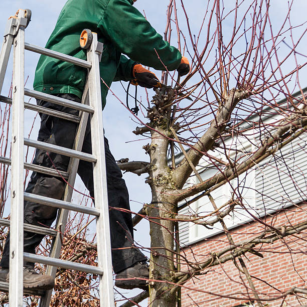 pruning a lime tree pictures images and stock photos