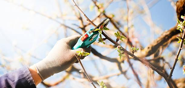pruning an apple tree - fruitboom stockfoto's en -beelden