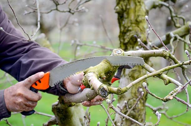 pruning an apple tree with pruning saw - fuchsschwanz stock-fotos und bilder
