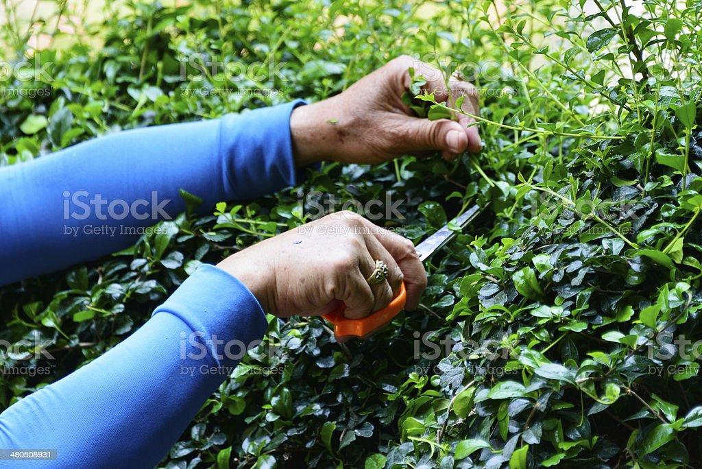 Pruning bush stock photo