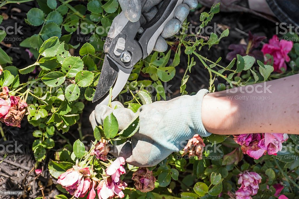 Pruning Drift Roses stock photo