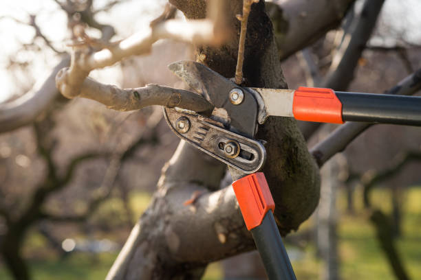 pruning fruit trees with pruning shears detail of professional pruning shears during winter pruning hedge clippers stock pictures, royalty-free photos & images
