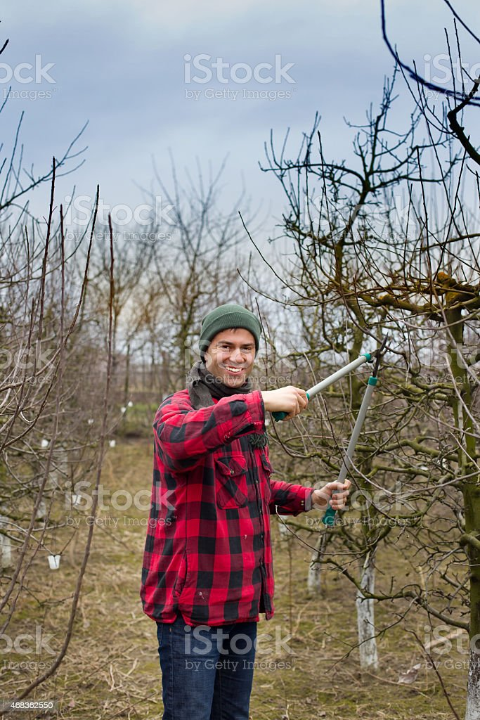 Pruning fruits royalty-free stock photo