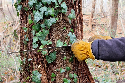 Pruning Invasive English Ivy From Tree Stock Photo - Download Image Now -  iStock
