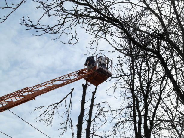 Pruning of tall trees from an aerial work platform in the autumn-spring-winter time stock photo