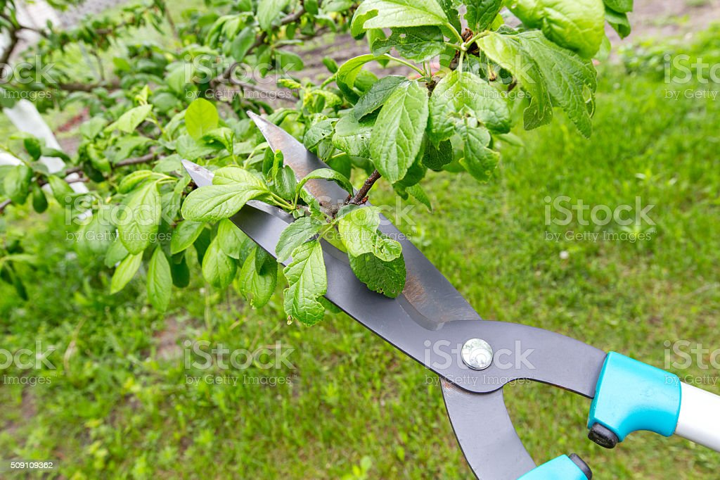 pruning of trees stock photo