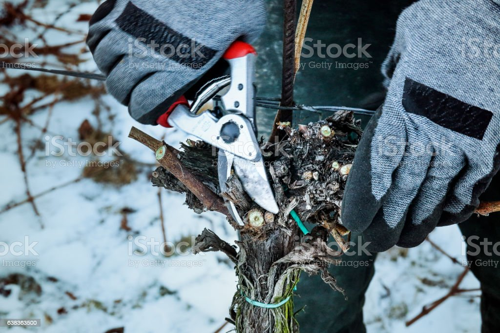 Pruning of vines – Foto