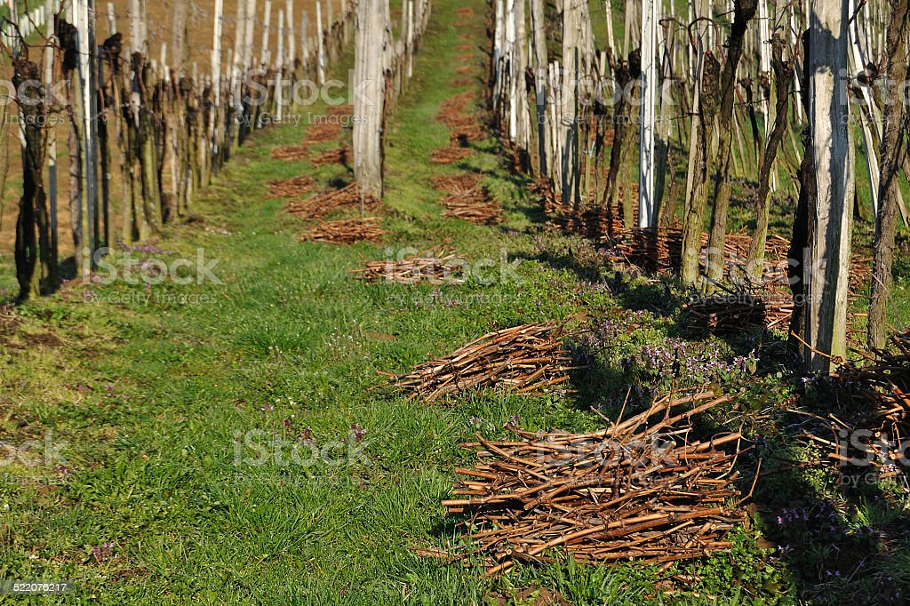 Pruning of vines. Vineyard in early spring, Southern Styria, Austria stock photo