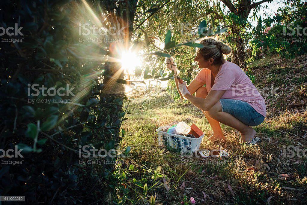 Pruning Olives stock photo