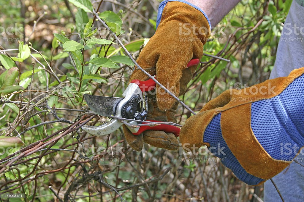 Pruning Small Branches royalty-free stock photo