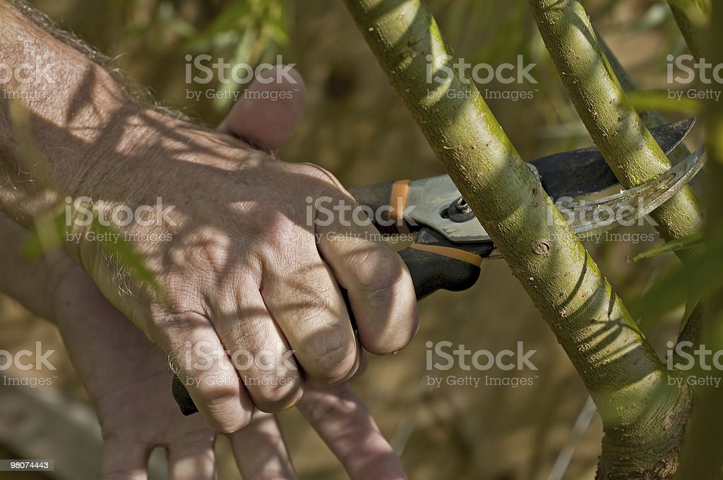 Pruning the willow royalty-free stock photo
