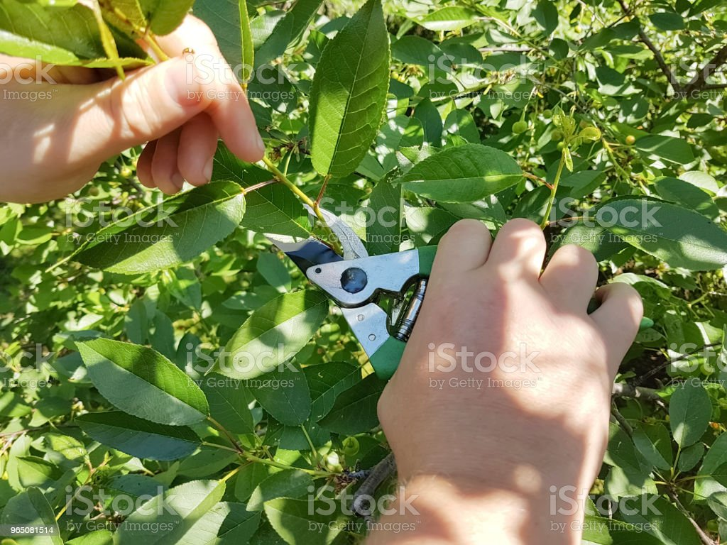 pruning trees, caring for the garden royalty-free stock photo