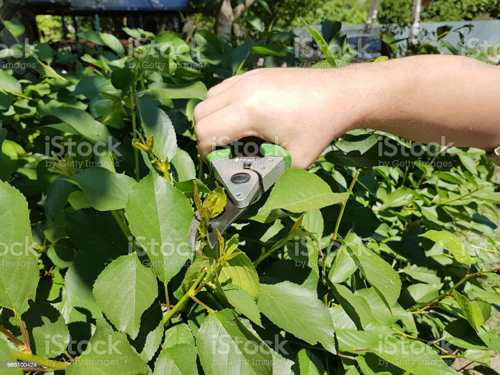 pruning trees, caring for the garden service royalty-free stock photo