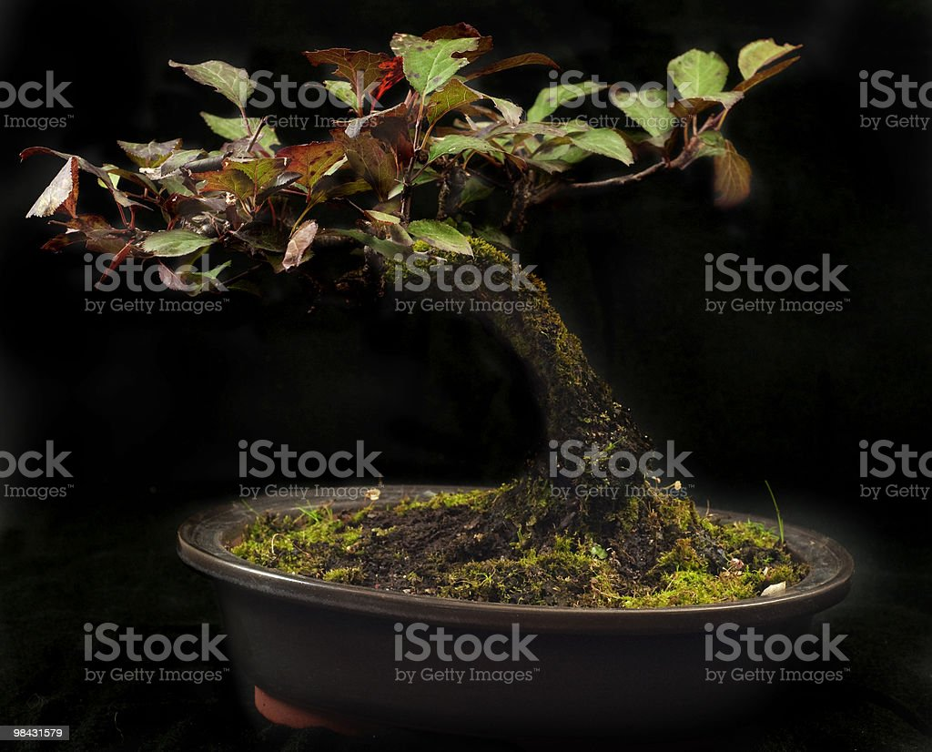 Prunus Bonsai royalty-free stock photo