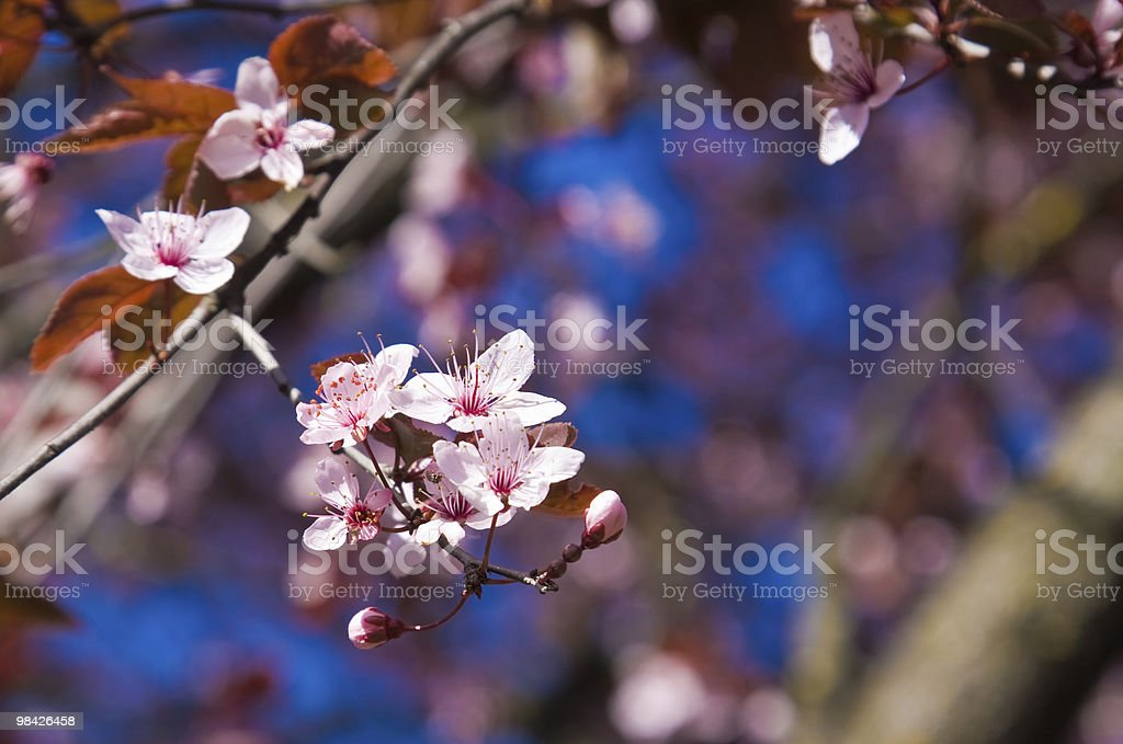 Prunus closeup royalty-free stock photo