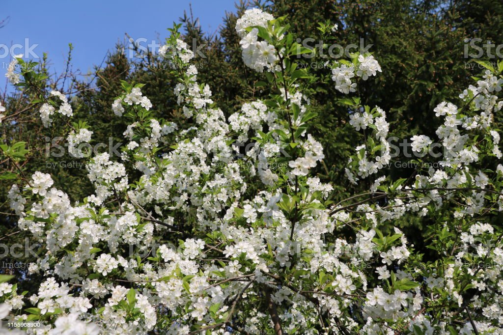 Prunus Domestica Tree With White Flowers In Spring Germany Stock