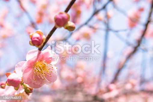 Prunus mume blooming in winter under blue sky
