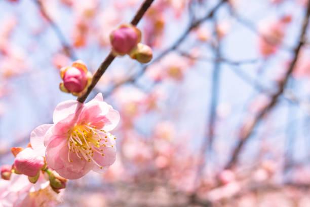 Prunus mume floreciendo en invierno bajo el cielo azul - foto de stock