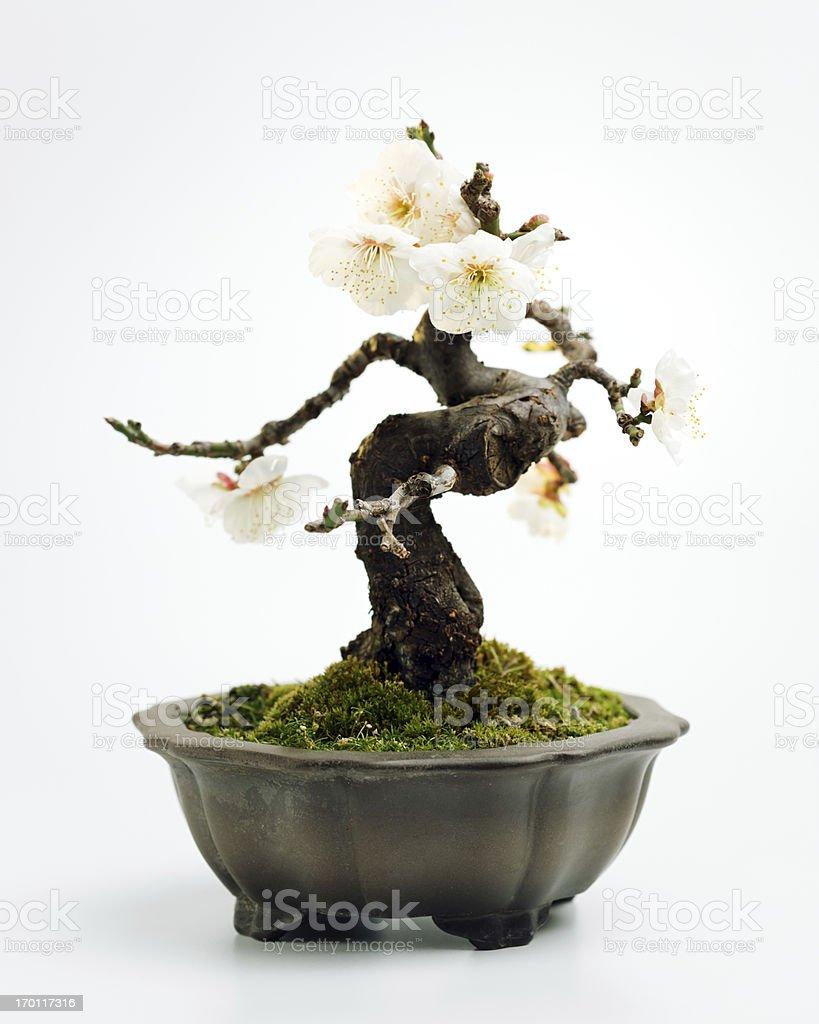 Prunus mume bonsai Prunus mume bonsai on white background.  The tree has some flowers. Back Lit Stock Photo