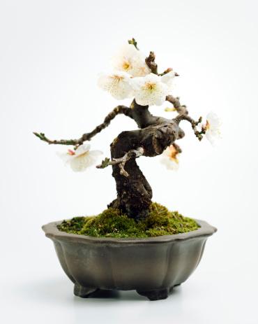 Prunus Mume Bonsai Stock Photo - Download Image Now