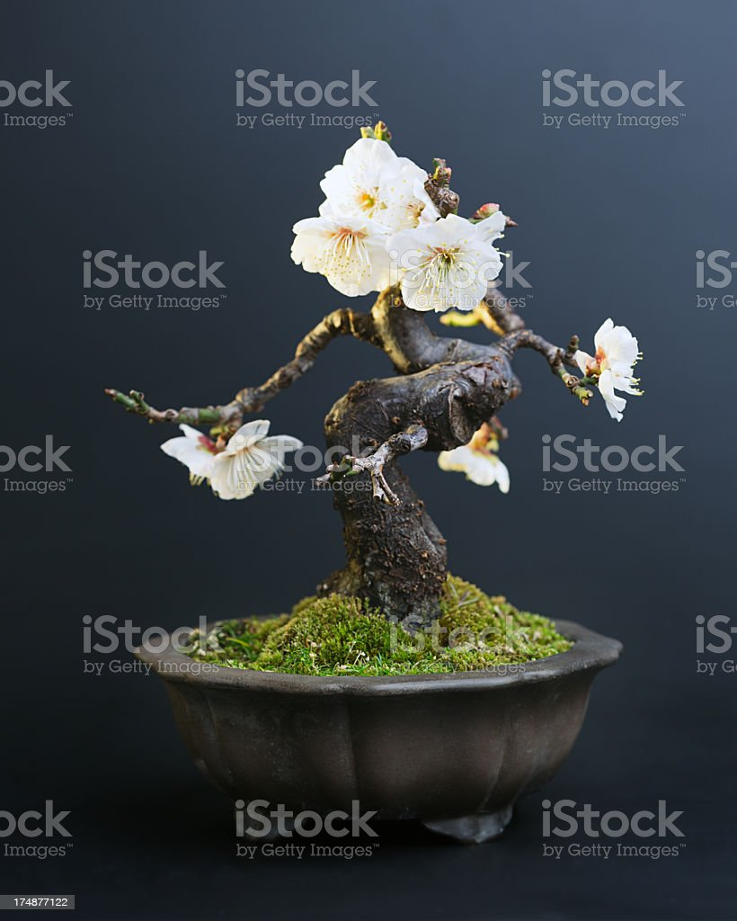 Prunus Mume Bonsai Stock Photo Download Image Now Istock